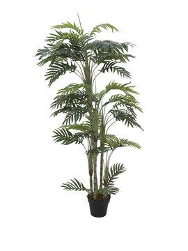 Billede af Phoenix palm with multiple trunk, 170cm