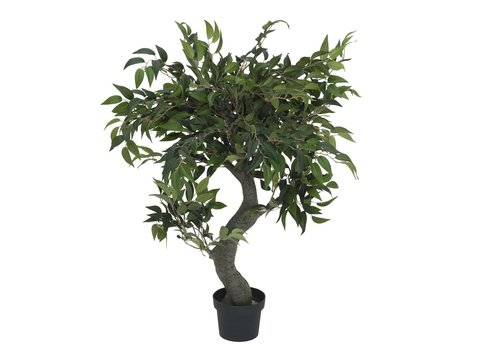 Image of   Ficus Forest Tree, 80cm