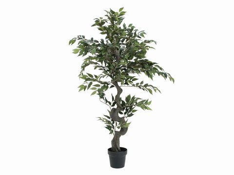Image of   Ficus Forest Tree, 110cm