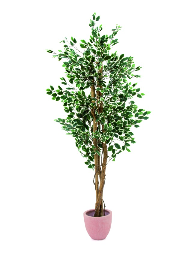 Image of   Kunstig Variegated Ficus, 240cm