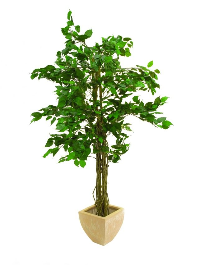 Image of   Kunstig Ficus tree multi-trunk, 150cm
