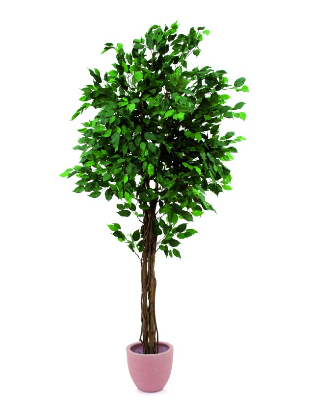 Image of   Kunstig Ficus tree multi-trunk, 180cm
