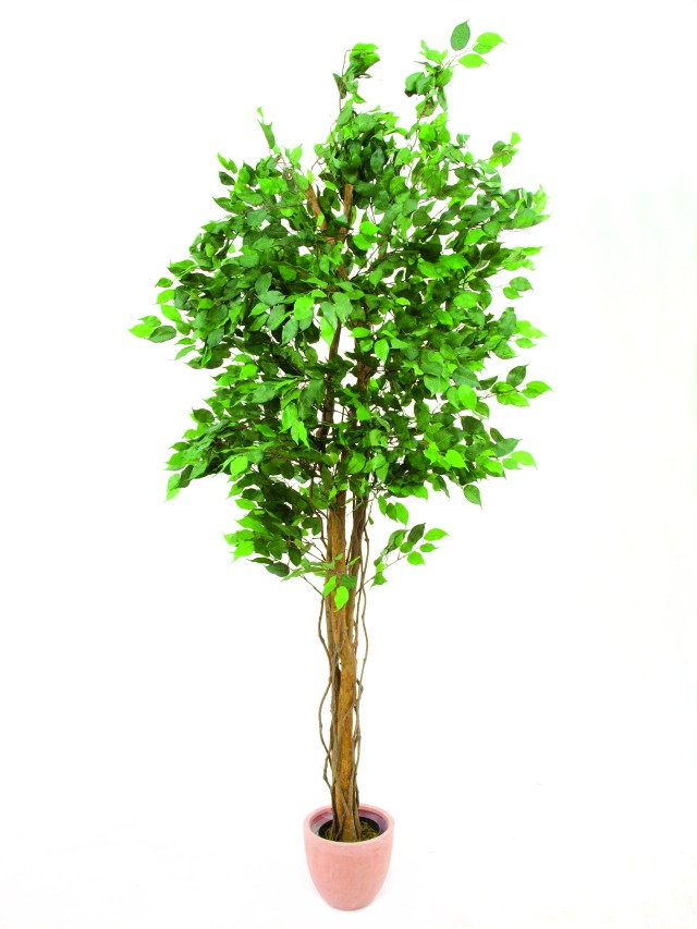 Image of   Kunstig Ficus tree multi-trunk, 210cm